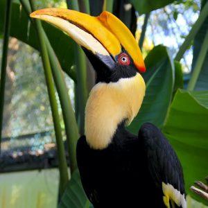 3- Calau bicorne (Buceros bicornis)