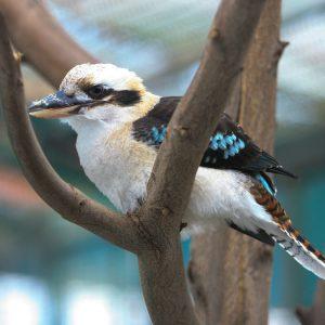 4- Kookaburra risonha (Dacelo novaeguineae)