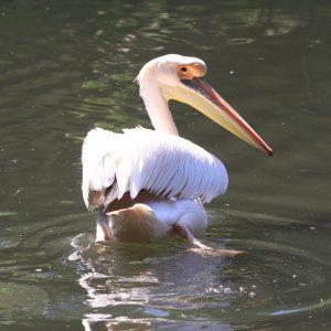 9- Pelicano branco (Pelecanus onocrotalus)
